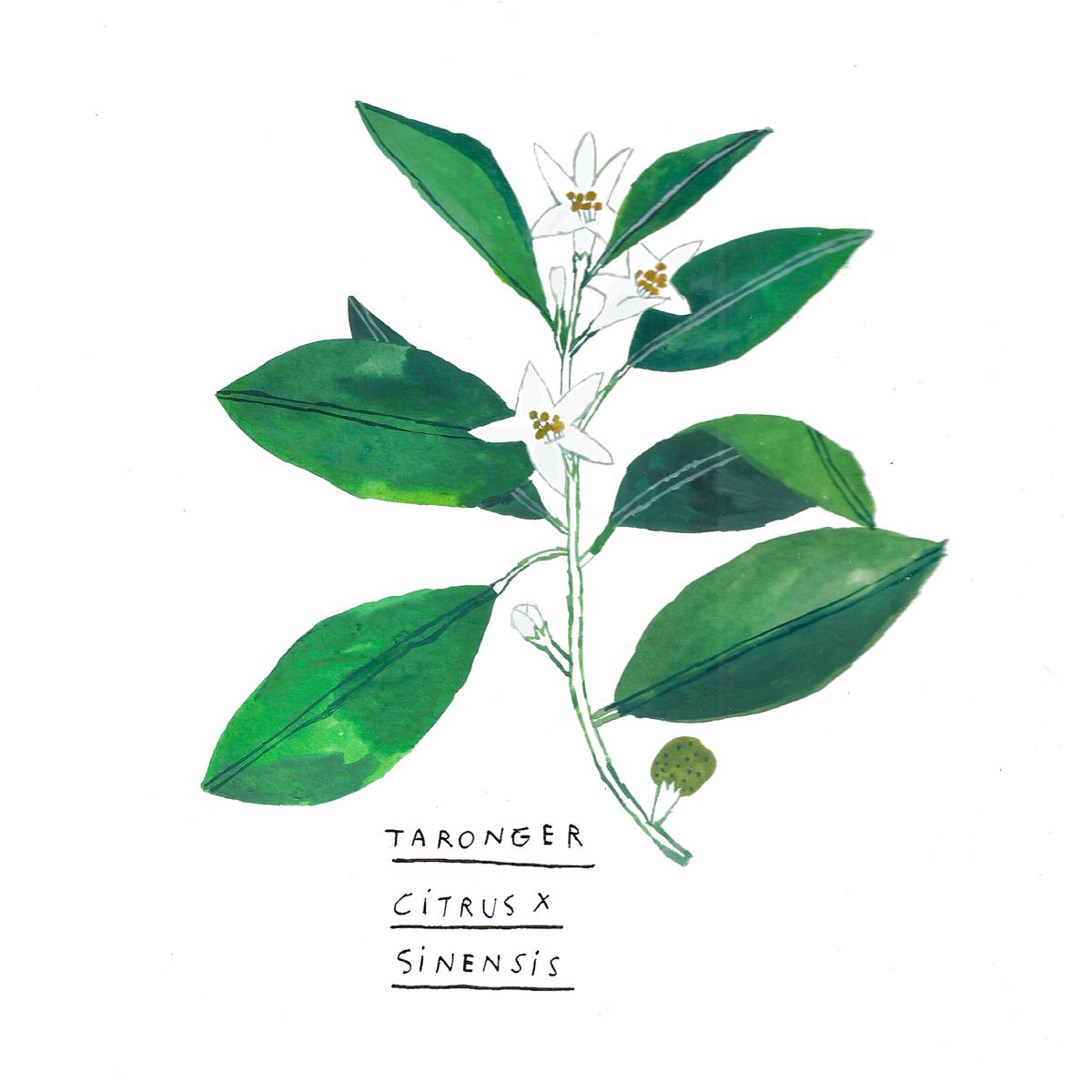 taronger